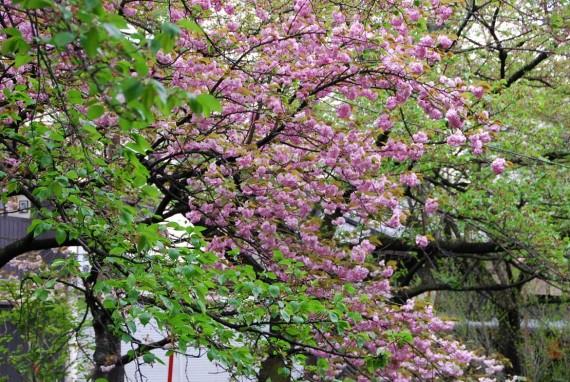 Canal et arbres de Kyoto (3)