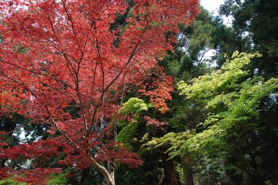Les arbres de Nara  (2)