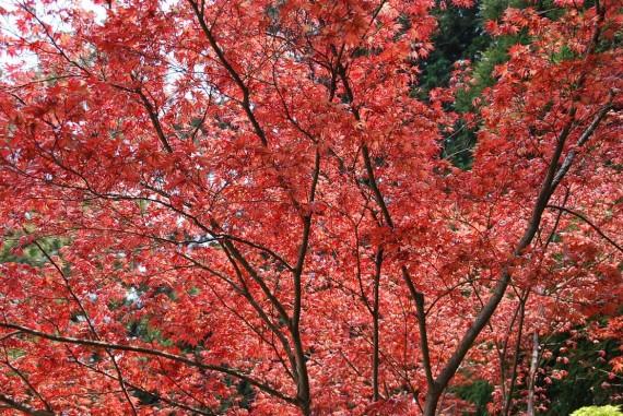 Les arbres de Nara  (3)