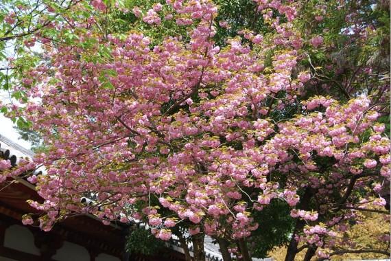 Les arbres de Nara  (4)