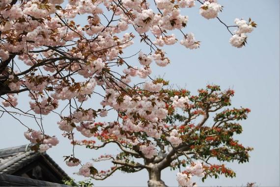 Les arbres de Nara  (5)