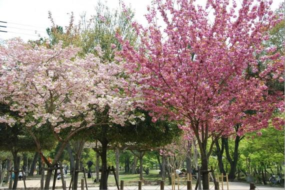 Les arbres de Nara  (8)