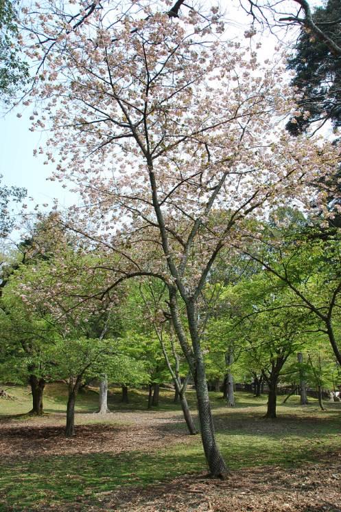 Les arbres de Nara  (9)