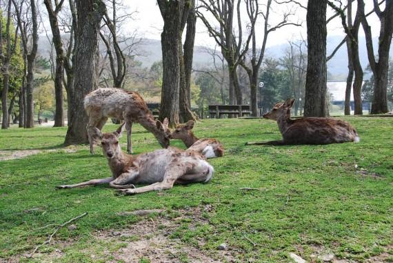 Les biches de Nara (1)