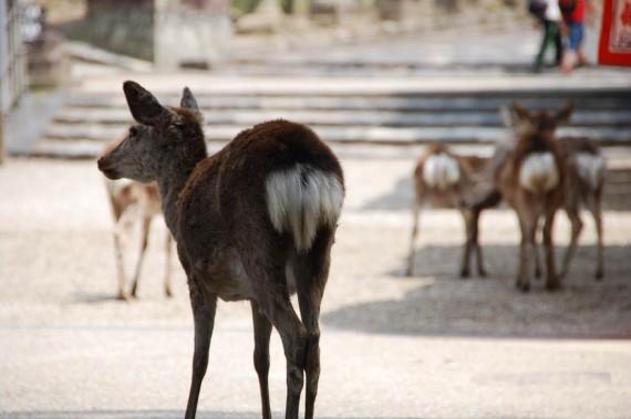 Les biches de Nara (2)