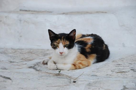 Les chats sauvages de Mykonos (1)