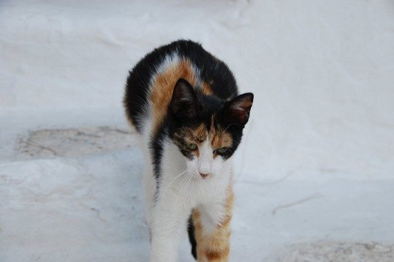 Les chats sauvages de Mykonos (4)