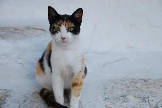 Les chats sauvages de Mykonos (5)