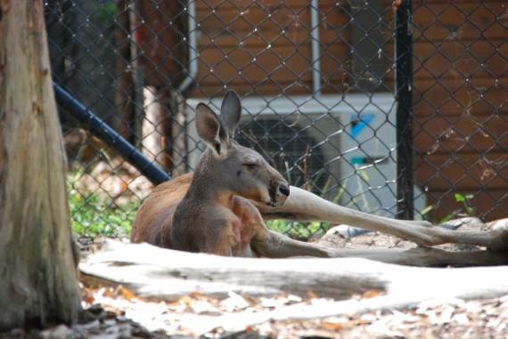 Kangourous et koalas Taronga Zoo Sydney (10)