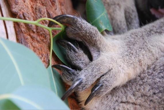 Kangourous et koalas Taronga Zoo Sydney (11)