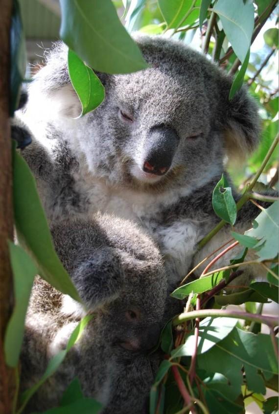 Kangourous et koalas Taronga Zoo Sydney (13)