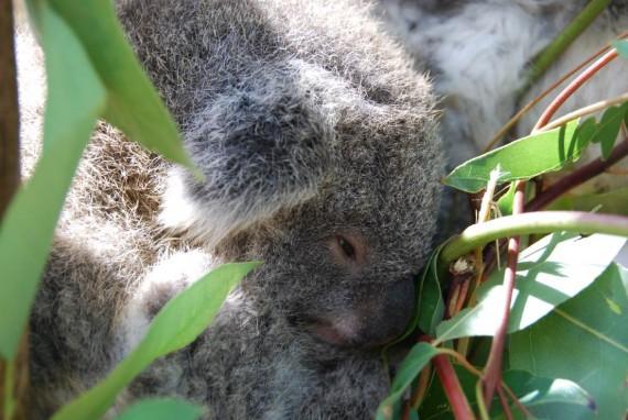 Kangourous et koalas Taronga Zoo Sydney (14)