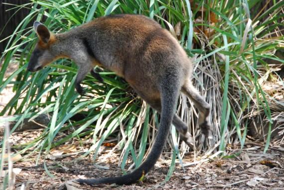 Kangourous et koalas Taronga Zoo Sydney (18)