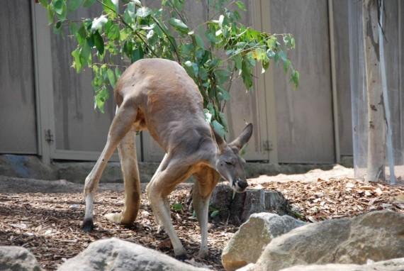 Kangourous et koalas Taronga Zoo Sydney (19)