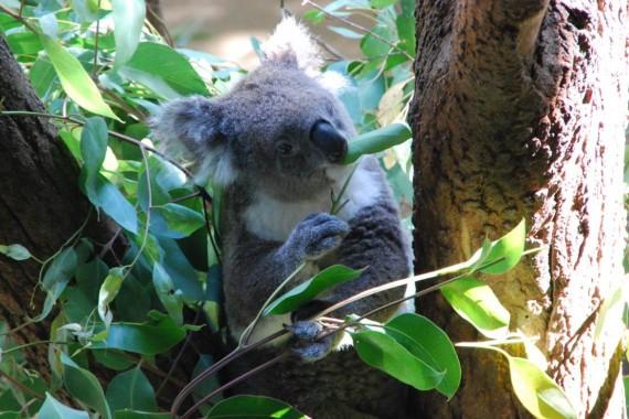Kangourous et koalas Taronga Zoo Sydney (2)