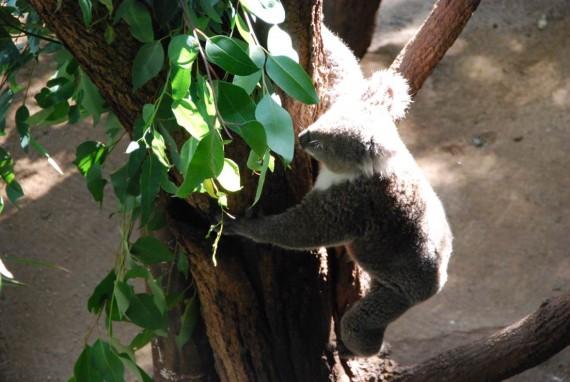 Kangourous et koalas Taronga Zoo Sydney (3)