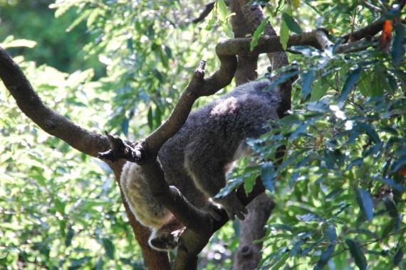 Kangourous et koalas Taronga Zoo Sydney (4)