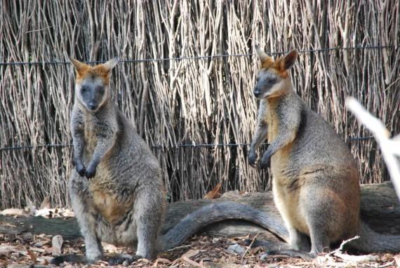 Kangourous et koalas Taronga Zoo Sydney (6)