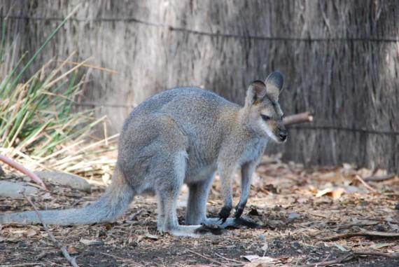 Kangourous et koalas Taronga Zoo Sydney (7)