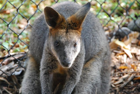 Kangourous et koalas Taronga Zoo Sydney (8)