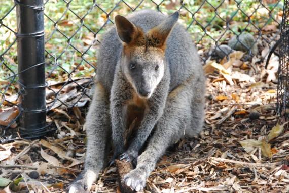 Kangourous et koalas Taronga Zoo Sydney (9)