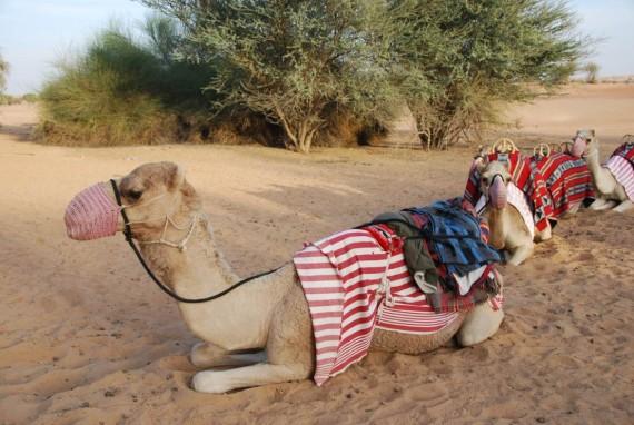 Al Maha camel ride (8)