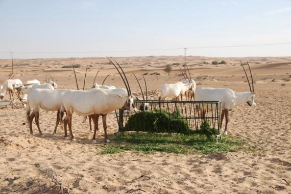 Desert Conservation Reserve Dubai (11)