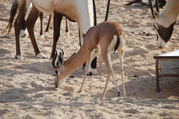 Desert Conservation Reserve Dubai (2)