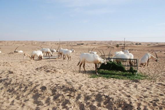 Desert Conservation Reserve Dubai (6)