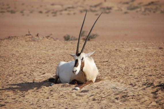 Desert Conservation Reserve Dubai (7)