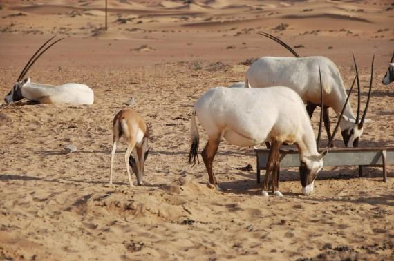 Desert Conservation Reserve Dubai (8)