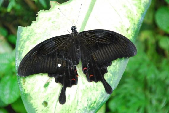 Kuala Lumpur Butterfly Park (22)