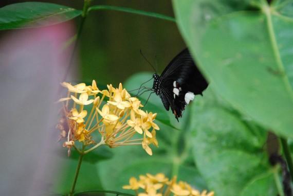 Kuala Lumpur Butterfly Park (23)