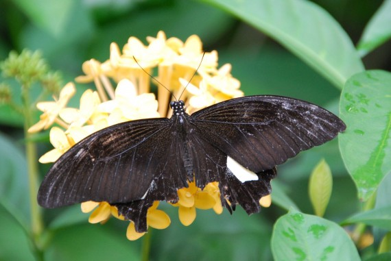 Kuala Lumpur Butterfly Park (27)