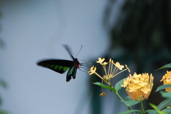 Kuala Lumpur Butterfly Park (28)