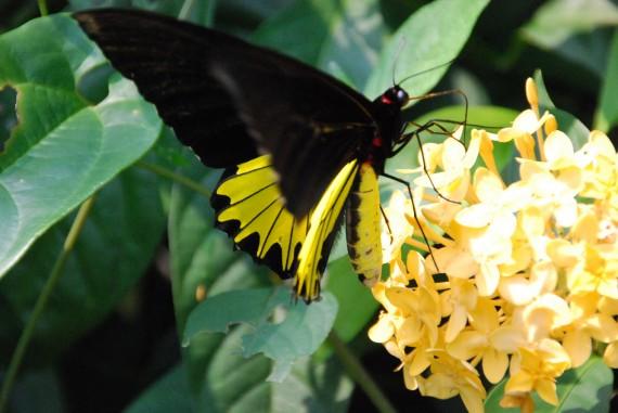 Kuala Lumpur Butterfly Park (6)