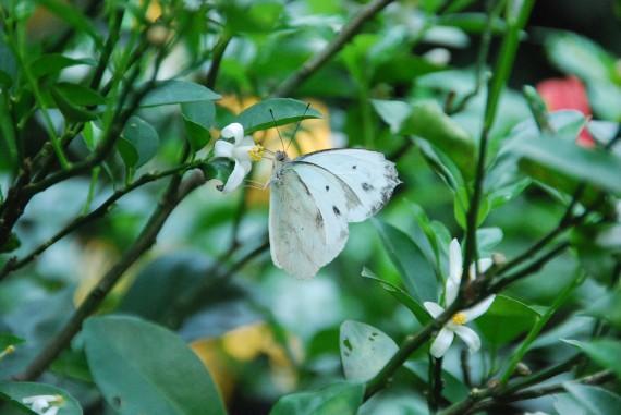 Kuala Lumpur Butterfly Park (8)