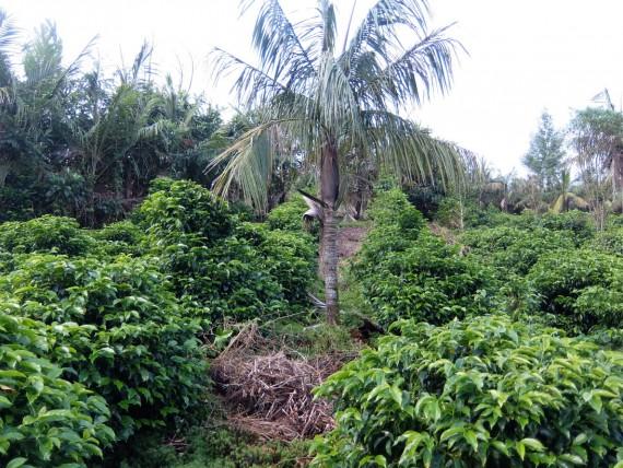 Laurina et plantation café (10)