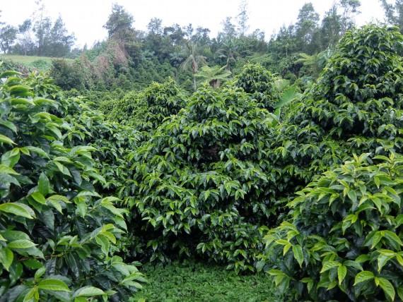 Laurina et plantation café (15)