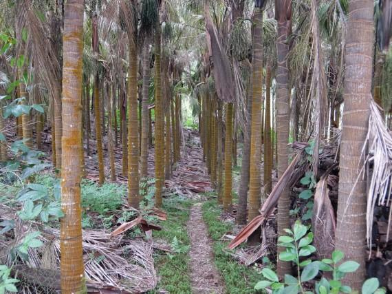 Laurina et plantation café (19)