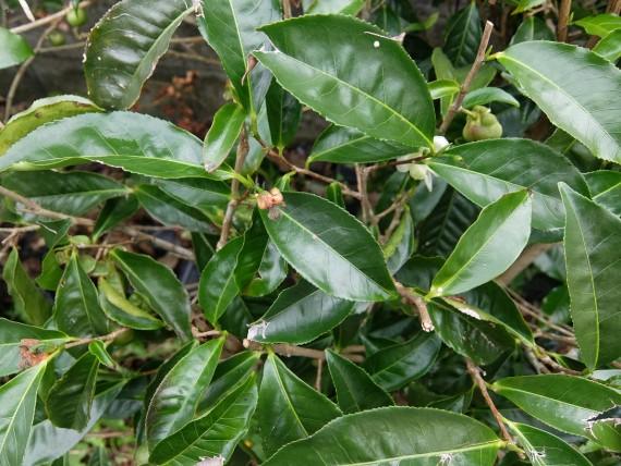 Laurina et plantation café (28)