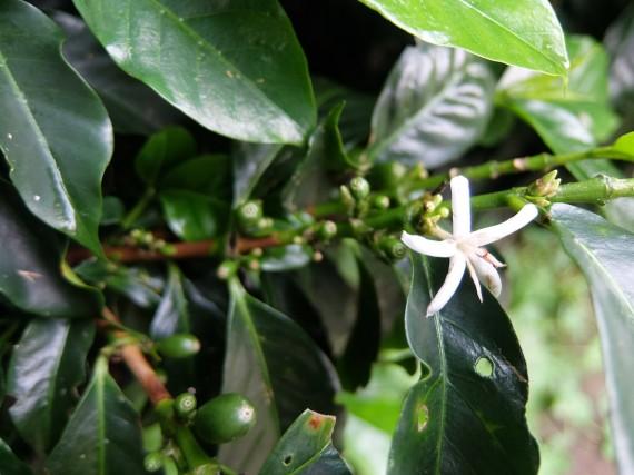 Laurina et plantation café (29)