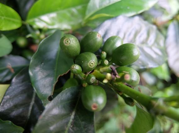 Laurina et plantation café (30)