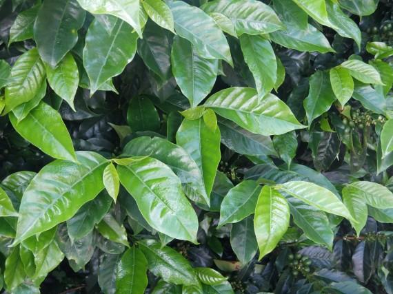 Laurina et plantation café (31)