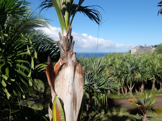 Palm Réunion (71)
