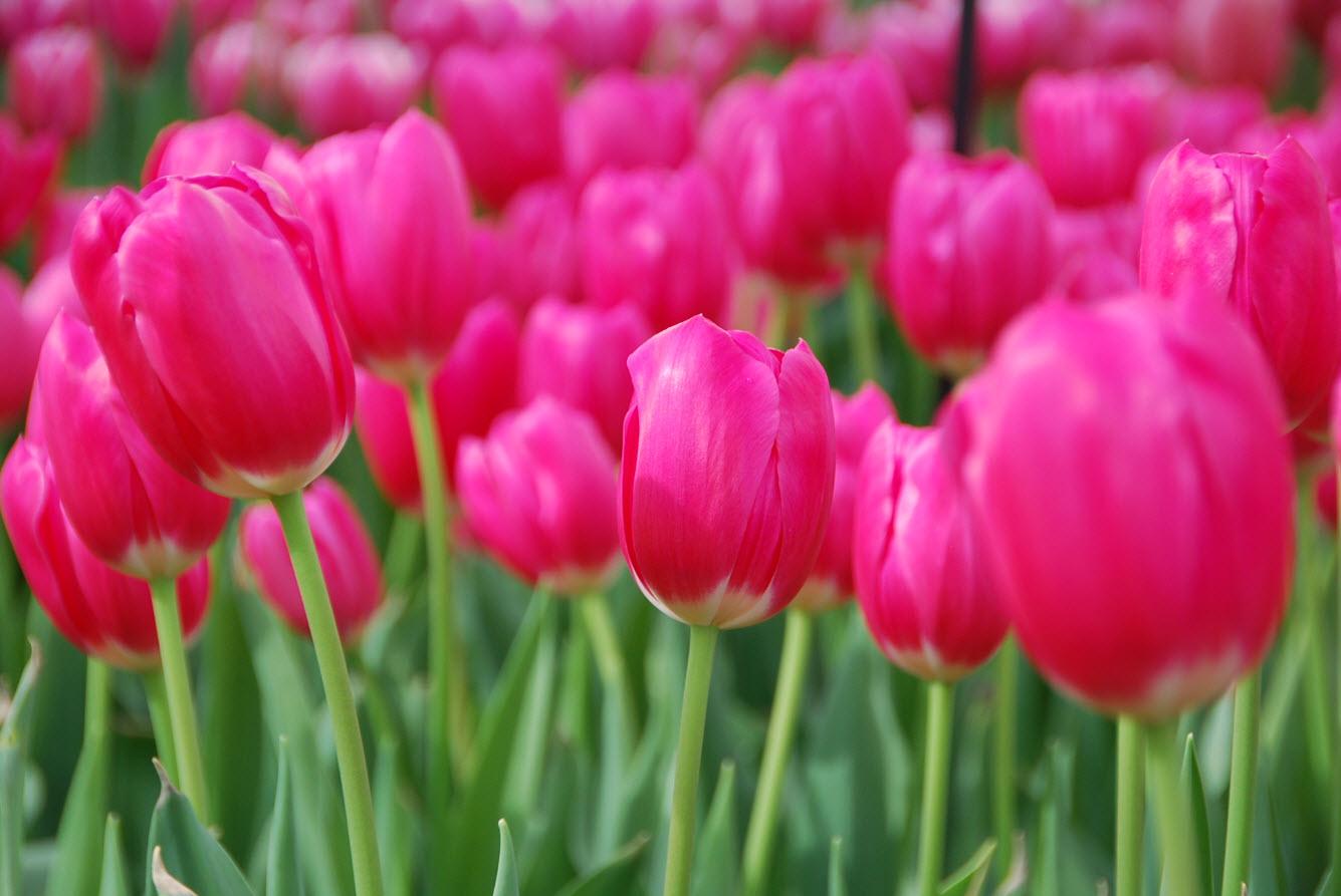 Tulipes aux Pays-Bas