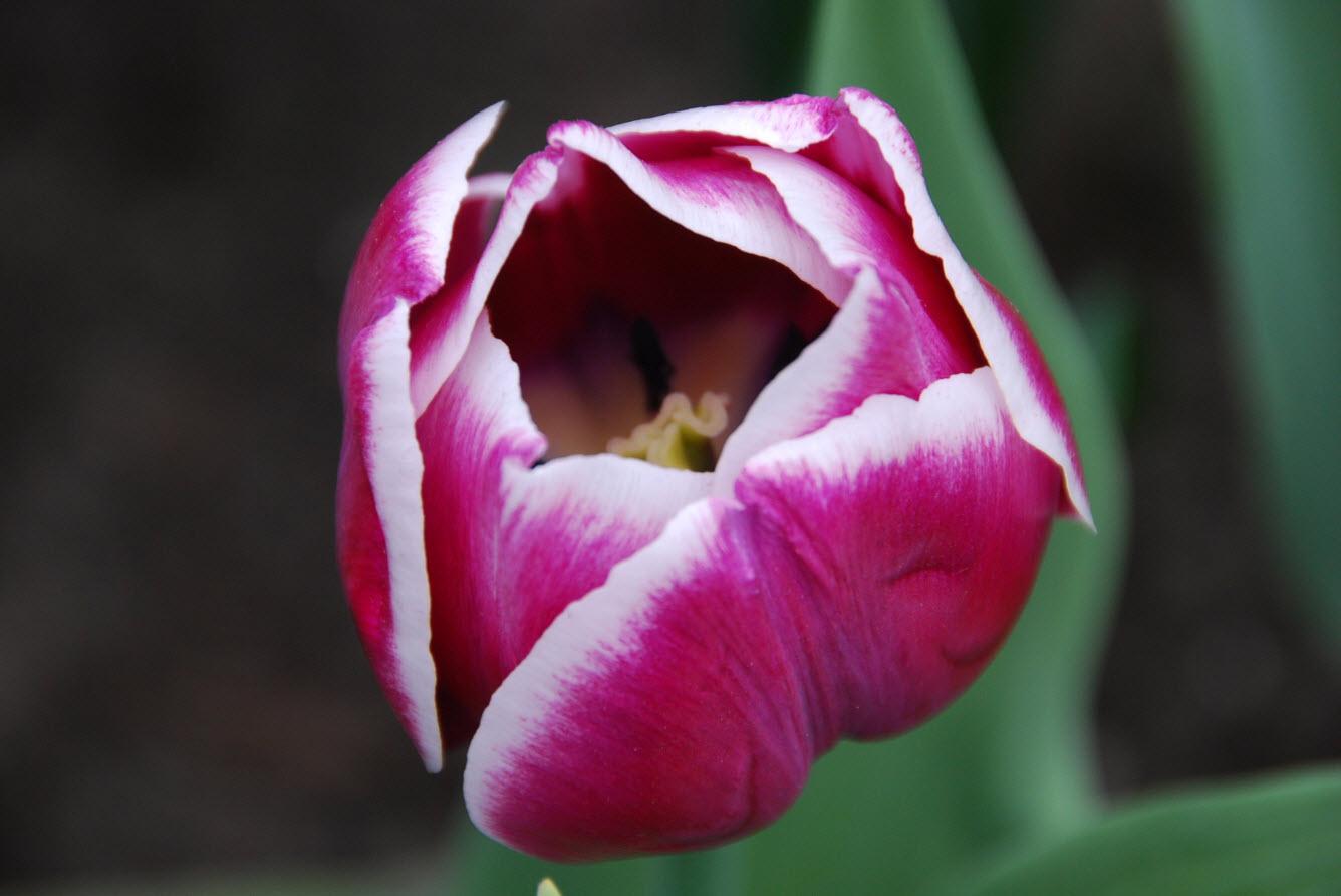 Tulipe qui s'ouvre