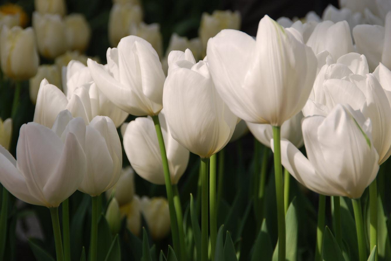 Amsterdam et ses tulipes
