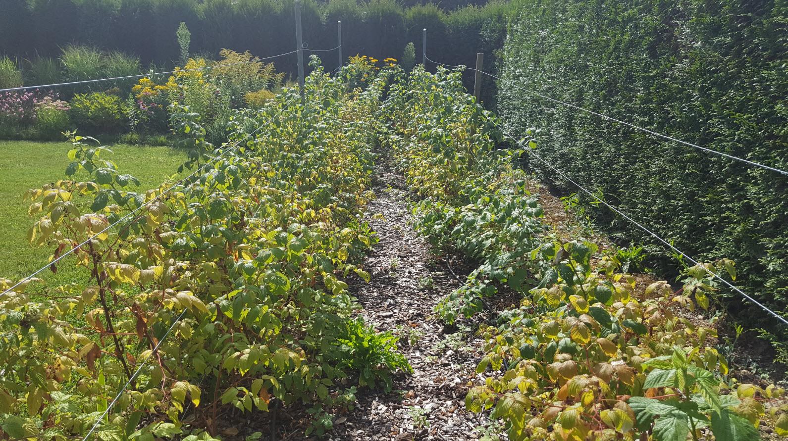 Pieds de vigne jardin Geneve