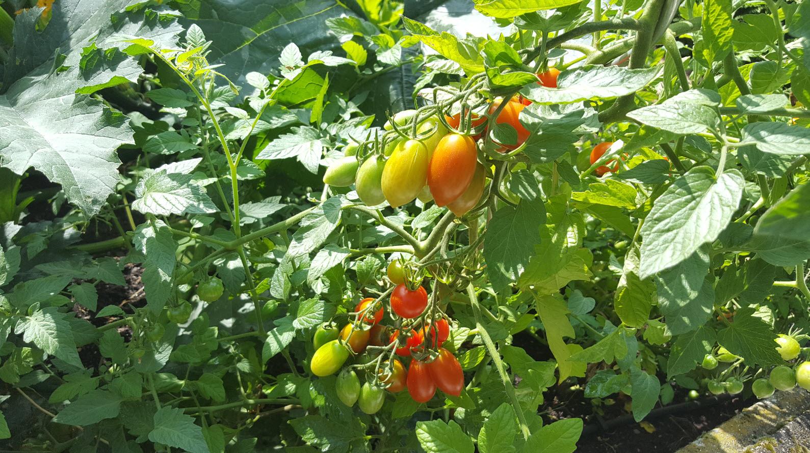 Tomates cerises dans le jardin